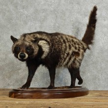 African Civet Cat Mount For Sale #15970 @ The Taxidermy Store