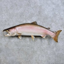 Spawning Coho Salmon Fish Mount For Sale #14455 @ The Taxidermy Store