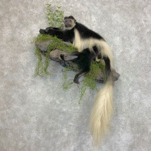 Colobus Monkey Life-Size Mount For Sale #21956 @ The Taxidermy Store
