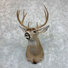 Columbian Black-tailed Deer Shoulder Mount For Sale #23511 @ The Taxidermy Store