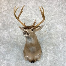 Columbian Black-tailed Deer Shoulder Mount For Sale #23529 @ The Taxidermy Store