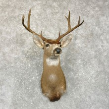 Columbian Black-tailed Deer Shoulder Mount For Sale #24956 @ The Taxidermy Store