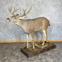 Columbian Blacktail Deer Life-Size Mount For Sale #25369 For Sale @ The Taxidermy Store