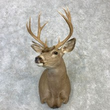 Columbian Blacktail Deer Shoulder Mount For Sale #23113 For Sale @ The Taxidermy Store