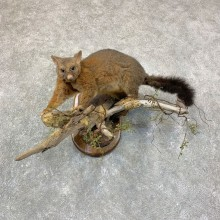 Common Brushtail Possum Mount For Sale #22760 @ The Taxidermy Store