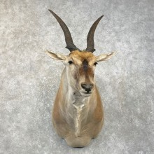 Common Cape Eland Shoulder Taxidermy Mount #25062 For Sale @ The Taxidermy Store