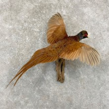Copper Pheasant Taxidermy Bird Mount For Sale