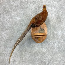 Copper/Reeves Cross Pheasant Bird Mount For Sale #22134 @ The Taxidermy Store