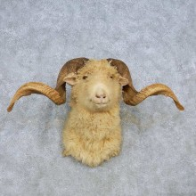 Corsican Ram Shoulder Mount For Sale #14801 @ The Taxidermy Store