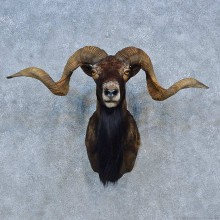 Corsican Ram Shoulder Mount For Sale #15298 @ The Taxidermy Store