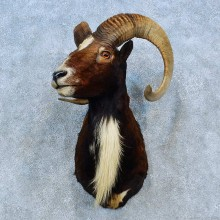 Corsican Ram Shoulder Mount For Sale #15483 @ The Taxidermy Store