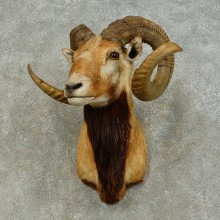 Corsican Ram Shoulder Mount For Sale #16452 @ The Taxidermy Store