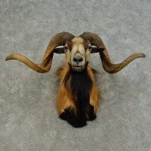 Corsican Ram Shoulder Mount For Sale #16455 @ The Taxidermy Store