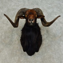 Corsican Ram Shoulder Mount For Sale #16457 @ The Taxidermy Store