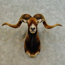 Corsican Ram Shoulder Mount For Sale #16529 @ The Taxidermy Store