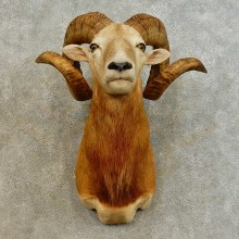 Corsican Ram Shoulder Mount For Sale #16540 @ The Taxidermy Store