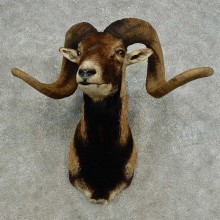 Corsican Ram Shoulder Mount For Sale #16876 @ The Taxidermy Store