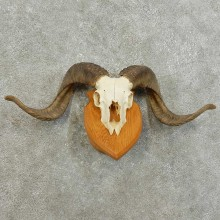 Corsican Ram Skull European Mount For Sale #16005 @ The Taxidermy Store