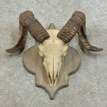 Corsican Ram Skull European Mount For Sale #16006 @ The Taxidermy Store