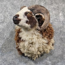 Jacobs Cross Ram Shoulder #11582 - For Sale @ The Taxidermy Store