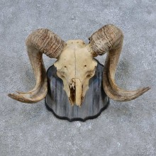 Corsican Ram Skull European Mount For Sale #14688 @ The Taxidermy Store