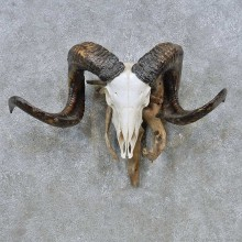 Corsican Ram Skull European Mount For Sale #14762 @ The Taxidermy Store