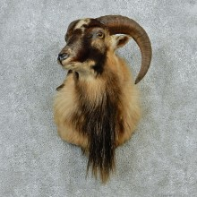 Corsican Ram Taxidermy Mount #12883 For Sale @ The Taxidermy Store