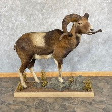 Corsican Ram Life-Size Mount For Sale #24968 @ The Taxidermy Store