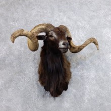 Corsican Ram Shoulder Mount For Sale #18732 @ The Taxidermy Store
