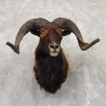 Corsican Ram Shoulder Mount For Sale #18865 @ The Taxidermy Store
