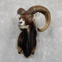 Corsican Ram Shoulder Mount For Sale #19443 @ The Taxidermy Store