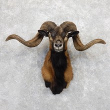 Corsican Ram Shoulder Mount For Sale #19448 @ The Taxidermy Store