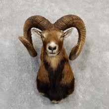 Corsican Ram Shoulder Mount For Sale #19993 @ The Taxidermy Store