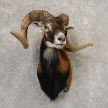 Corsican Ram Shoulder Mount For Sale #21321 @ The Taxidermy Store
