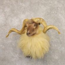 Corsican Ram Shoulder Mount For Sale #22158 @ The Taxidermy Store