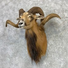 Corsican Ram Shoulder Mount For Sale #23117 @ The Taxidermy Store