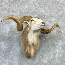 Corsican Ram Shoulder Mount For Sale #23125 @ The Taxidermy Store