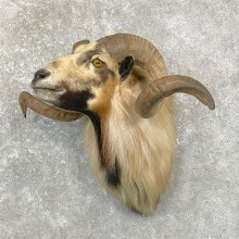 Corsican Ram Shoulder Mount For Sale #24768 @ The Taxidermy Store