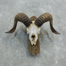 Corsican Ram Skull European Mount For Sale #18332 @ The Taxidermy Store