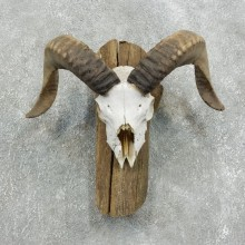 Corsican Ram Skull European Mount For Sale #18333 @ The Taxidermy Store