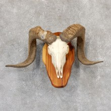 Corsican Ram Skull European Mount For Sale #19017 @ The Taxidermy Store