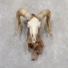 Corsican Ram Skull European Mount For Sale #19326 @ The Taxidermy Store