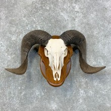 Corsican Ram Skull European Mount For Sale #23434 @ The Taxidermy Store