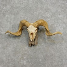 Corsican Ram Skull European Mount For Sale #17187 @ The Taxidermy Store