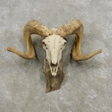 Corsican Ram Skull European Mount For Sale #17297 @ The Taxidermy Store