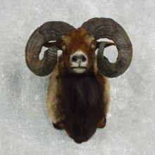 Corsican Ram Shoulder Mount For Sale #17645 @ The Taxidermy Store