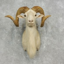 Corsican Ram Shoulder Mount For Sale #17904 @ The Taxidermy Store