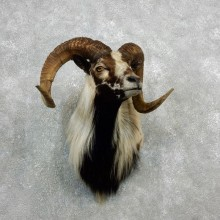 Corsican Ram Shoulder Mount For Sale #18096 @ The Taxidermy Store