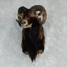 Corsican Ram Shoulder Mount For Sale #17907 @ The Taxidermy Store