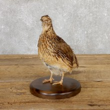 Cortunix Quail Bird Mount For Sale #19806 @ The Taxidermy Store